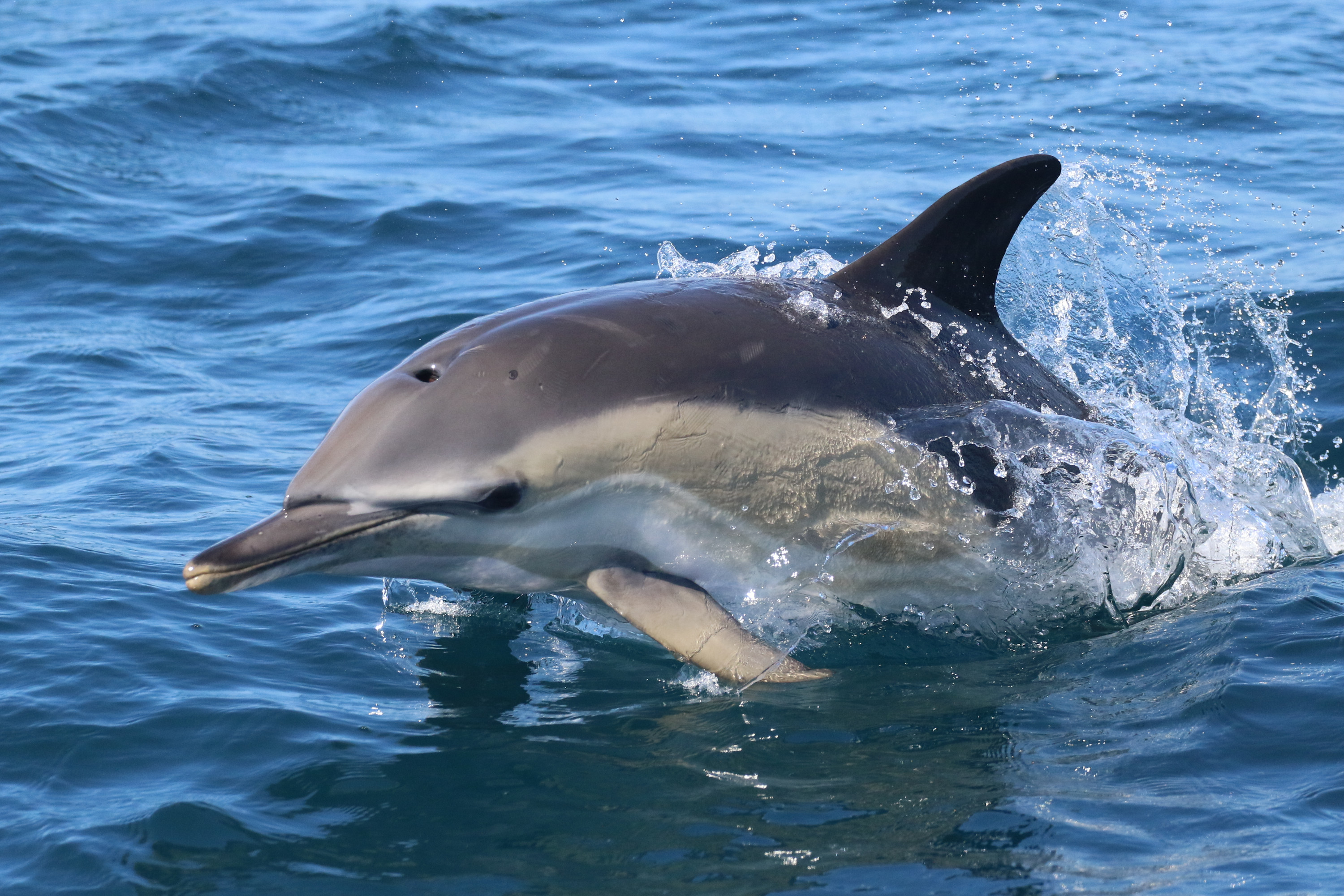 Common dolphin by Marine Discovery Penzance