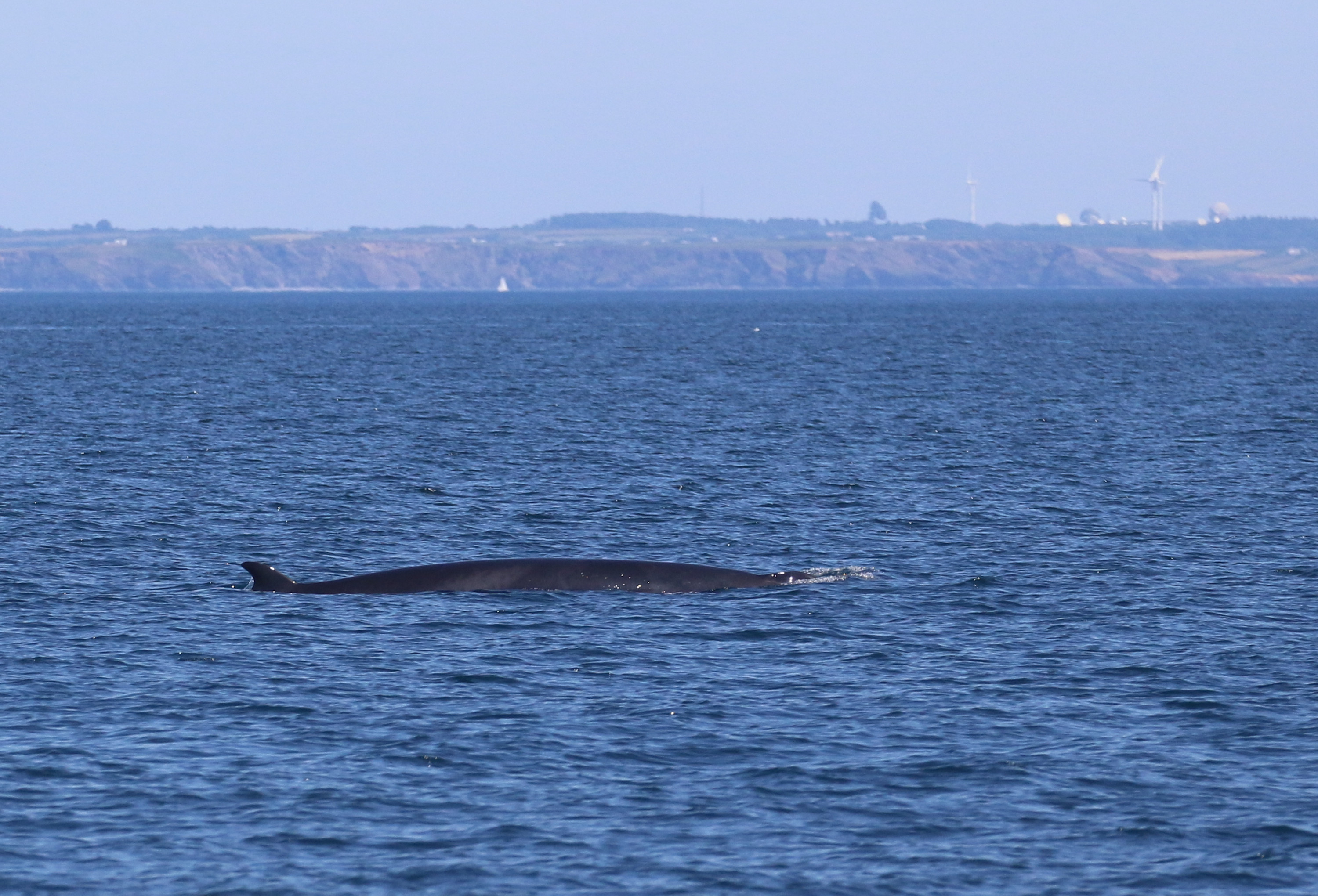 Mink whale off the coast of Penzance by Marine Discovery Penzance