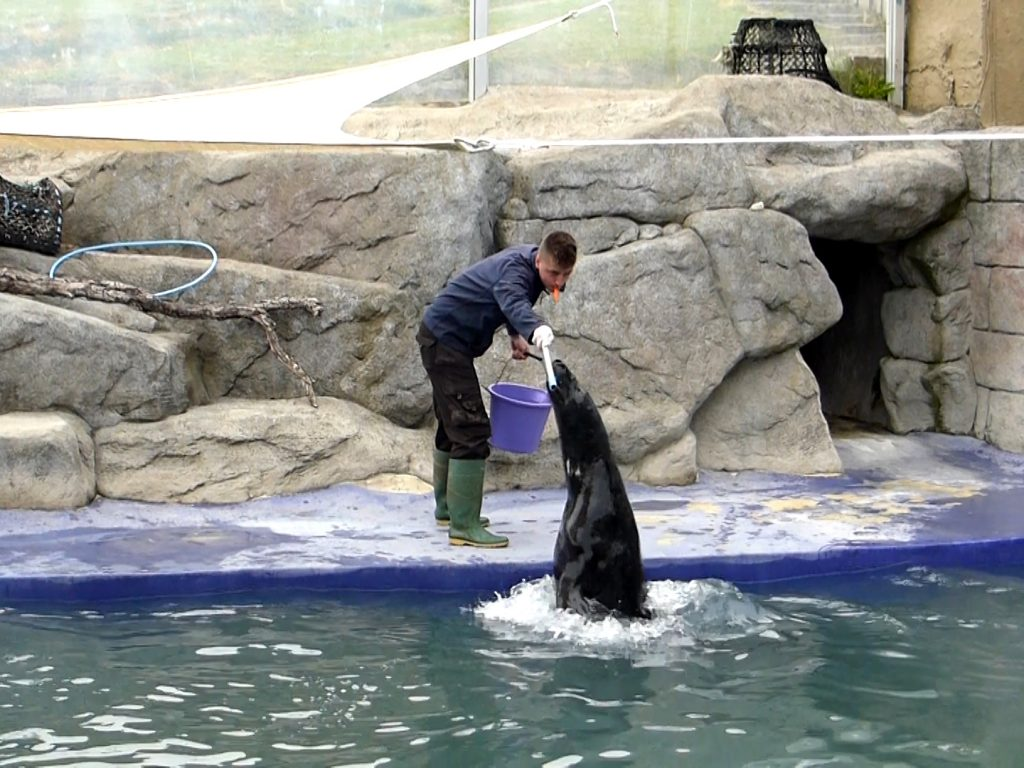 "Pumpkin the grey seal performs ""tricks"" at Cornish Seal Sanctuary"