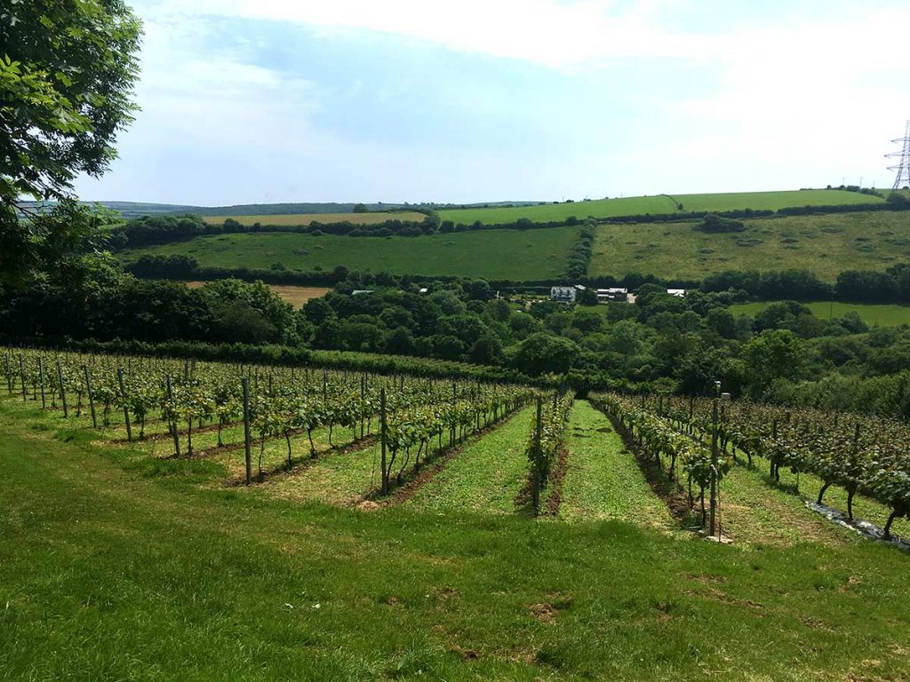 Vineyard at Camel Valley
