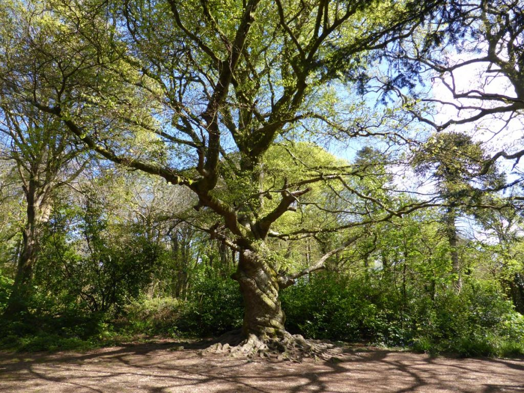 18th centuary beech tree with twisted trunk at Tehidy Woods, West Cornwall