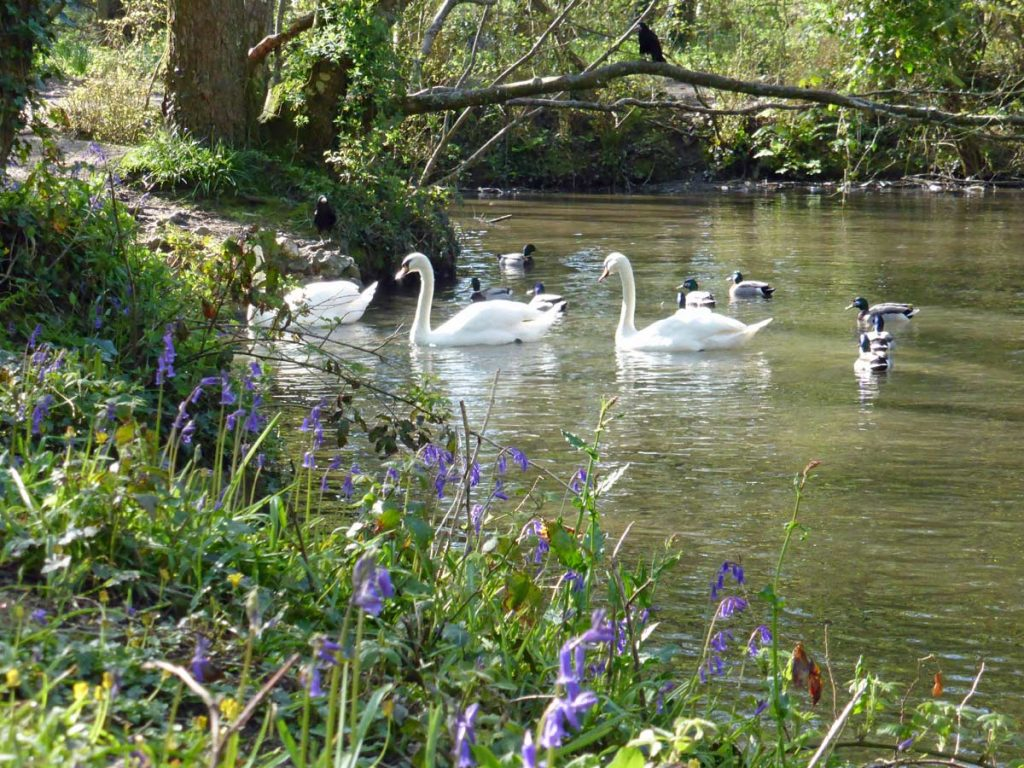 Swans and ducks swimming on the lake at Tehidy Country Park