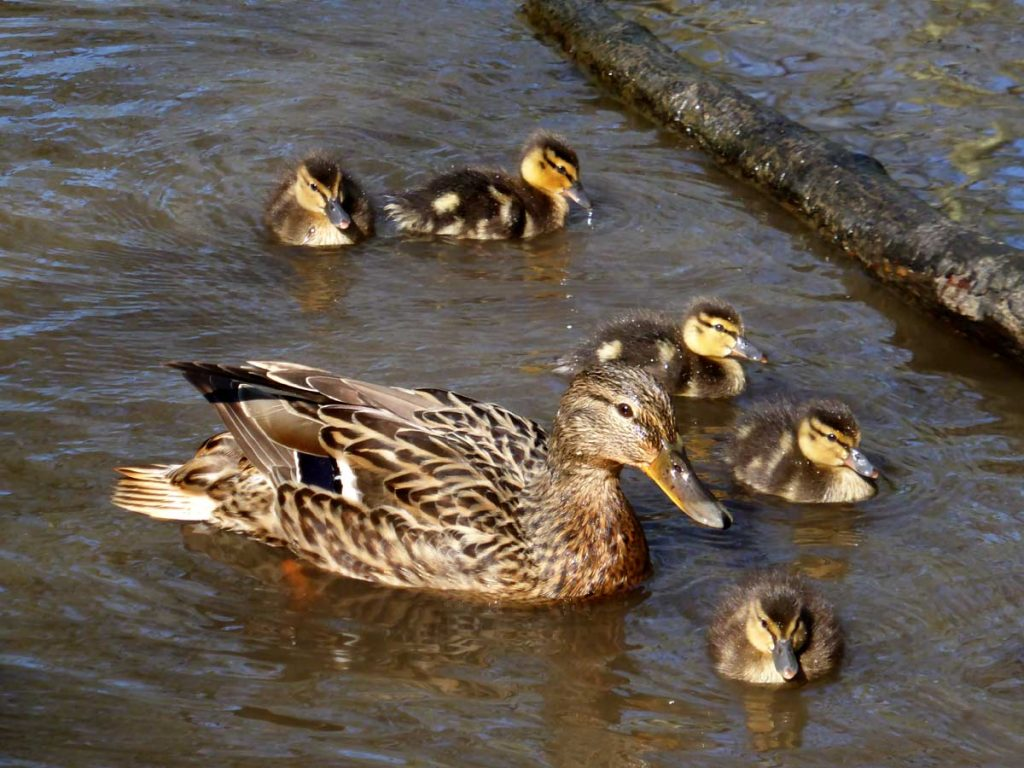 Mother mallard duck and her duckings at Tehidy Country Park, West Cornwall