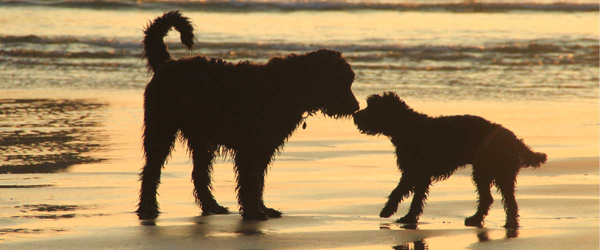 Dogs playing on a beach in Cornwall